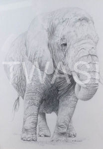 'The Matriarch' by Russell Vernalls Pencil drawing Framed 53 x 44.5 £160