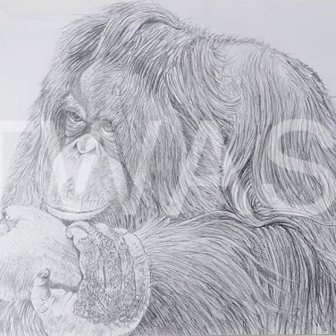 'The mischievous Orang' by Russell Vernalls Pencil drawing Framed 58x 69 £180