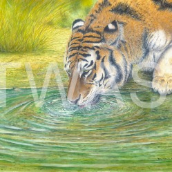 'Tiger - Just a drop' by Roy Aplin aplin4664@btinternet.com https://royaplin.com