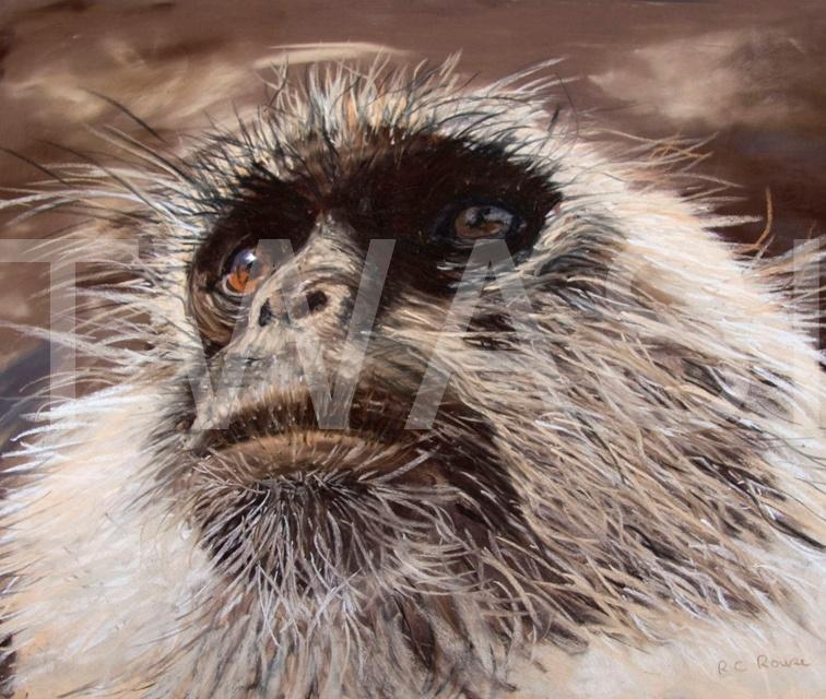 Ros Rouse Distant Stare langur Monkey India