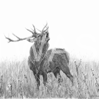 'Bellowing Stag' by David Skidmore 63.5 x 51cm Graphite pencil on Hot press 300gsm paper £399