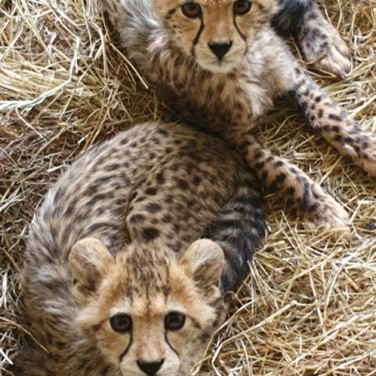 Pollyanna with a rescued cheetah in Namibia