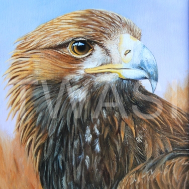 Golden Eagle by Anthony Webb oil framed 23 x 29 £250