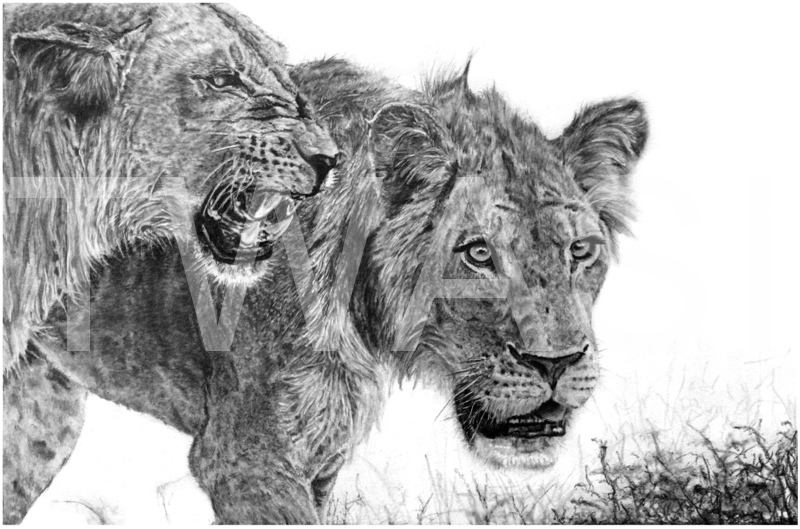 'Beauty within the beast' by Nick Barker Pencil Framed 50 x 63cms £400