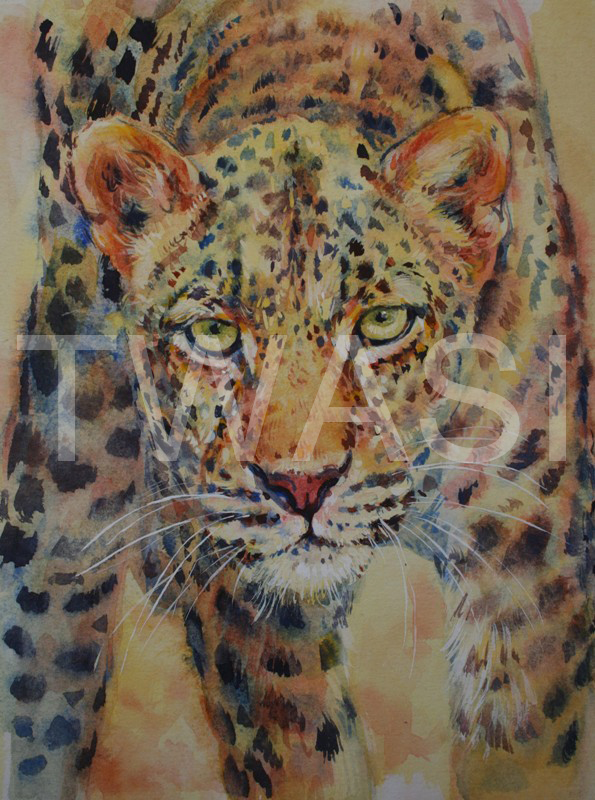 'Intensity' by Carol Barrett Watercolour 38 x 32 cms £250 Carol will donate profits from the sale of this painting to the Born Free Foundation