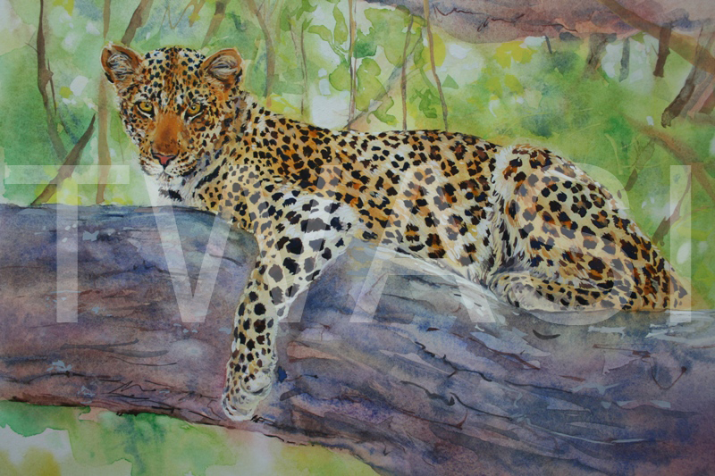 'Ruaha Jewel' by Carol Barrett Watercolour 35 x 44 cms £270 Carol will donate profits from the sale of this painting to the Born Free Foundation