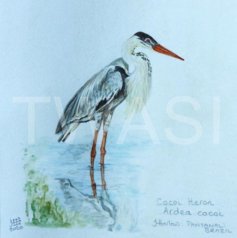'Cocoi Heron' by Jean Harlow Watercolour on Brazilian vellum 28 x 28 cms £495