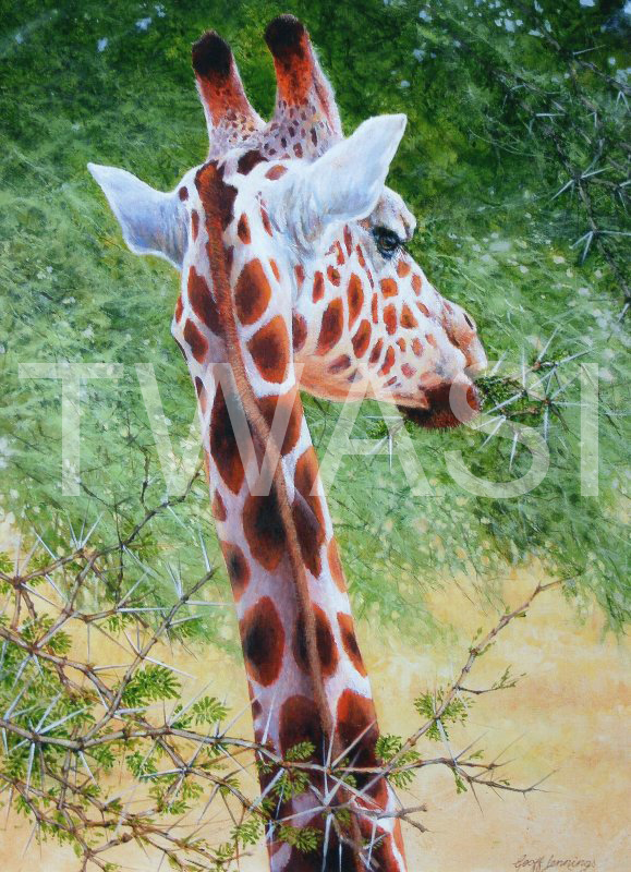 'Giraffe chewing on acacia' by Geoff Jennings Acrylic on Canvas 70 x 51 cms £550 (Geoff is offering both giraffe pieces for £900)