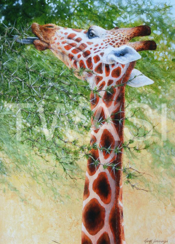 'Giraffe eating from acacia' by Geoff Jennings Acrylic on Canvas 70 x 51 cms £550 (Geoff is offering both giraffe pieces for £900)