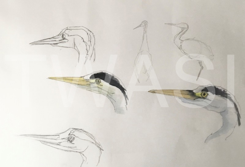 'Heron Field Study' by Martin Gibbons Watercolour and Graphite 54 x 44 cms £250