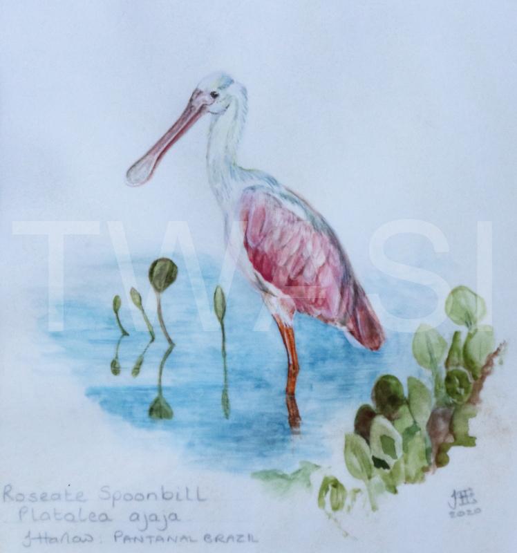 'Roseate Spoonbill' by Jean Harlow Watercolour on Brazilian vellum 28 x28 cms £495