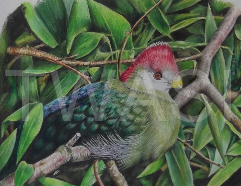 'Turaco' by Caroline Bletsis Coloured Pencil Unframed 23 x 20 cm £200