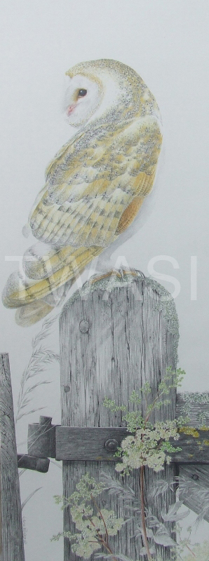 'Tyto Alba' by Valerie Briggs Graphite and coloured pencils 74 x 25 cms £750