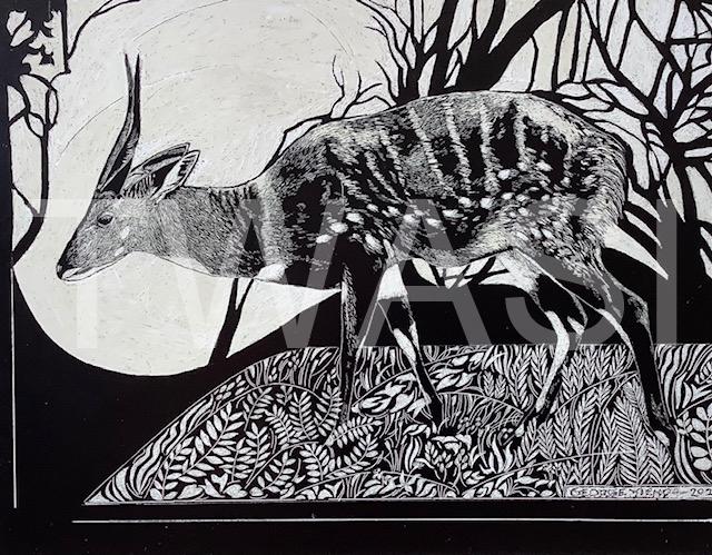 'South Luangwa Bushbuck' by George Yiend Scraperboard 29.5 x 22 cms £130