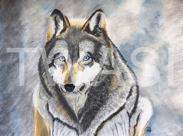 'Grey Wolf Wisdom by Jules Chabeaux Soft Pastels Print 21 x 29.7 cm (Mounted) £49