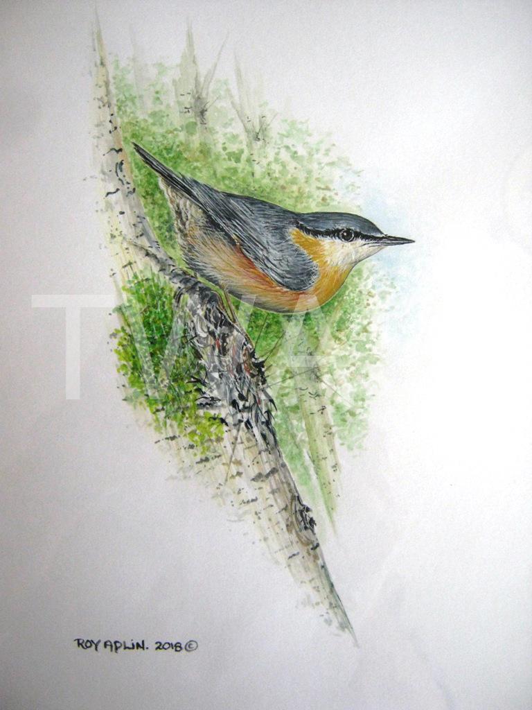 'Nuthatch' by Roy Aplin Watercolour Gouache Framed 48 x 37 cms £250