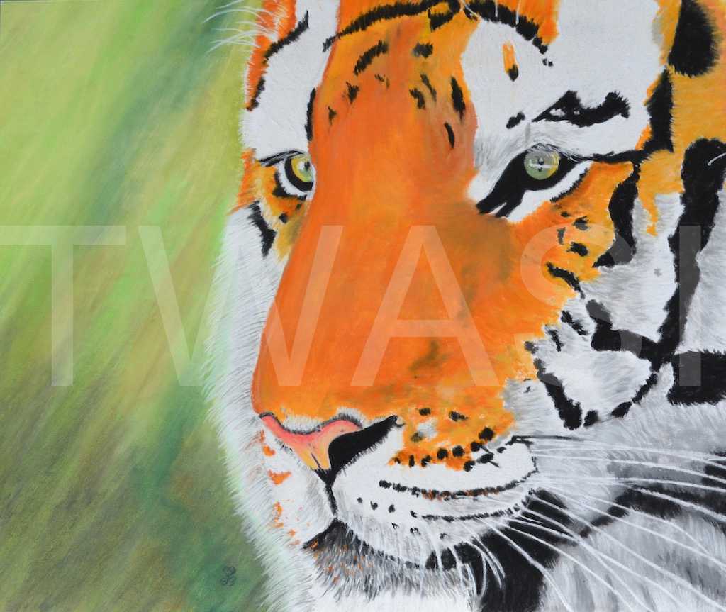 'Sumantran Tiger' by Jules Chabeaux Soft Pastels (Original) 21 x 29.7 cm £285
