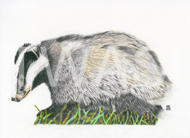 'The Indomitable Badger' by Jules Chabeaux Polychromos Pencils (Original) 21 x 29.7cm Mounted £120