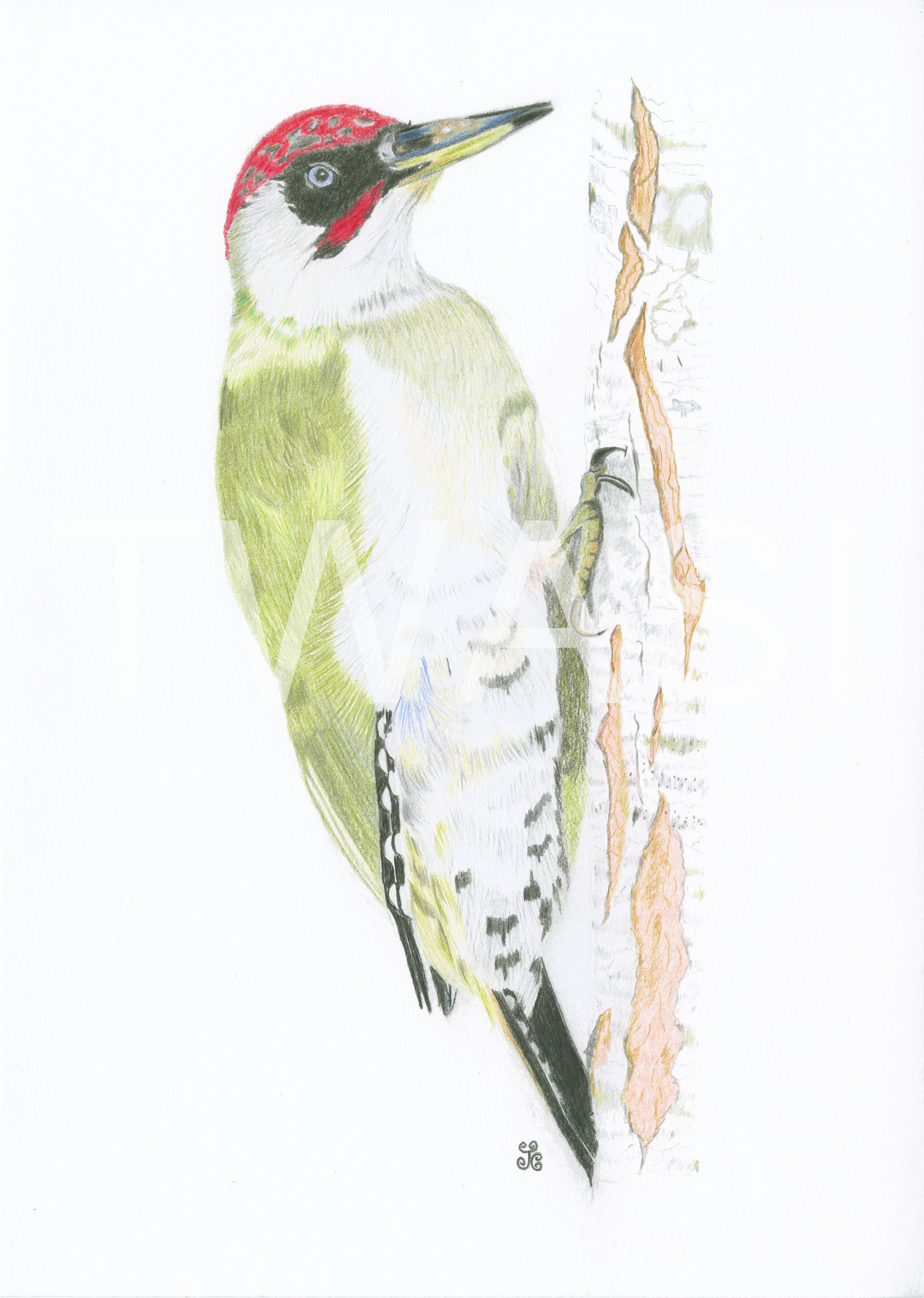 'Triumphant Green Woodpecker by Jules Chabeaux Polychromos Pencils (Original) 21 x 29.7 cm (Mounted) £120