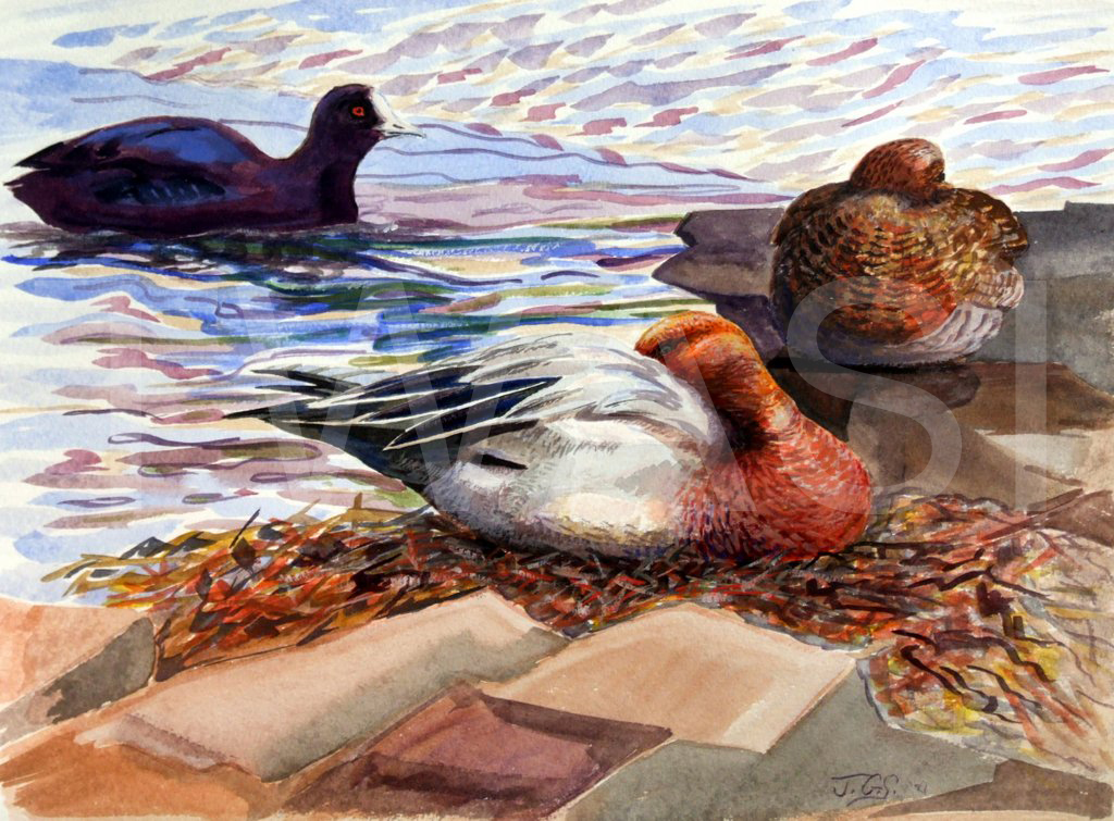 'Widgeon and Coot' by Julian Stanley Watercolour unframed 41 x 31 cms £160 - BUY ME - Email: divadknight@sky.com